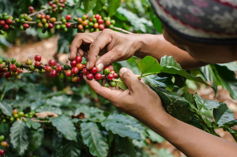 man picking coffee beans